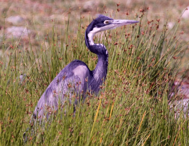 Black-headed heron-Lake Manyara