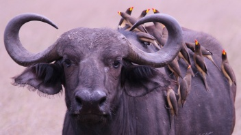 Bufallo with red-billed oxpeckers-Serengeti