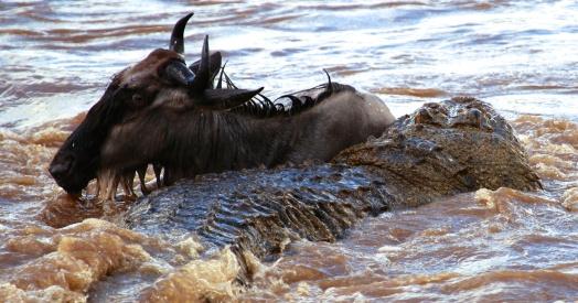 Nile crocodile preying on wildebeest-Serengeti