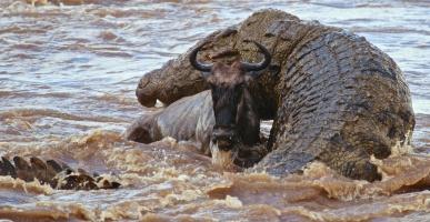 Nile crocodile attacking wildebeest-Serengeti