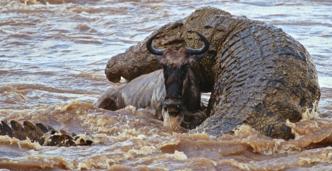 Nile crocodile attacking wildebeest-Serengeti