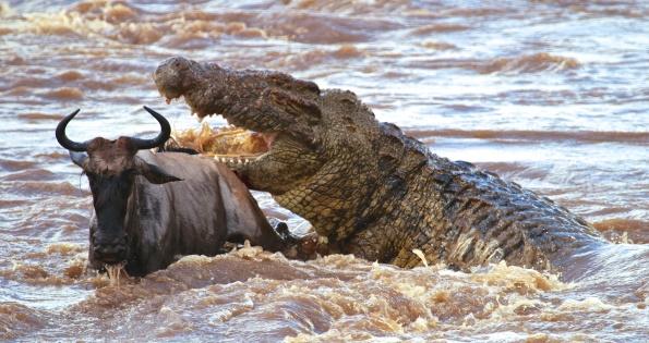 Nile crocodile preying on wildebeest (wildebeest survived)-Serengeti