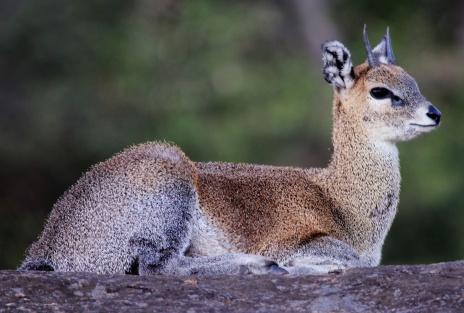 Klipspringer-Serengeti