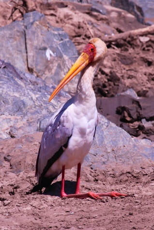 Yellow-billed stork-Serengeti