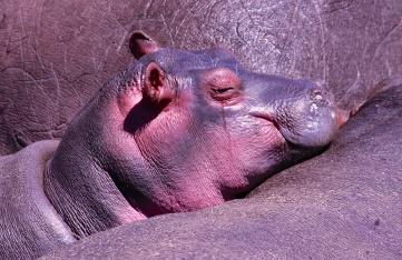 Baby hippo-Serengeti