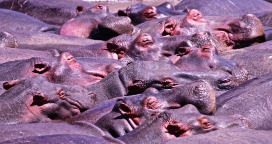 Hippos sunbathing-Serengeti