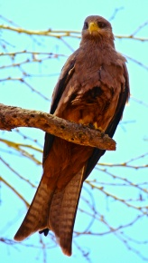 Black kite-Ngorongoro