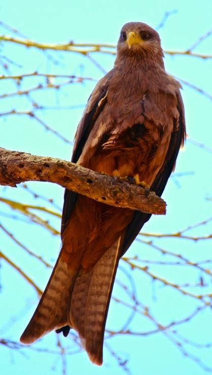 Black kite-Ngorongoro
