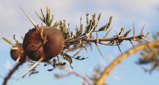 Whistling acacia with crematogaster ants-Serengeti