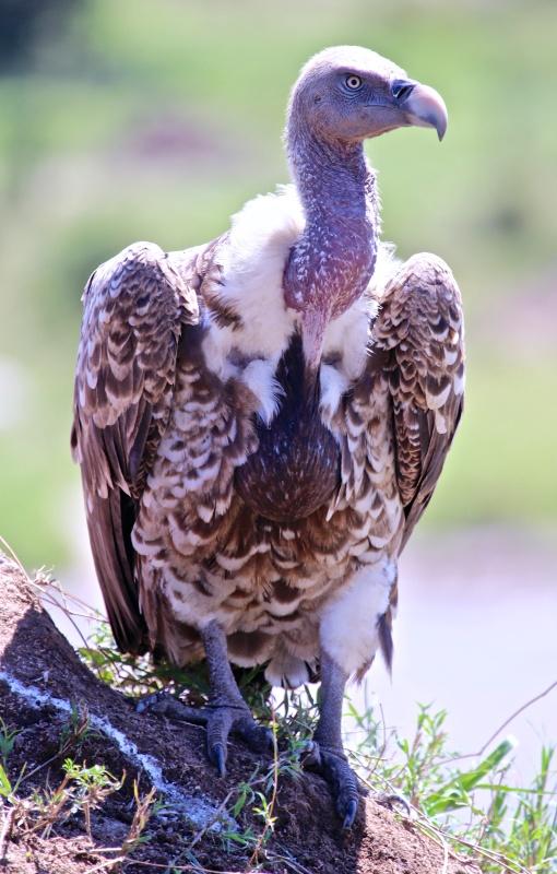 Ruppell's griffon vulture-Serengeti