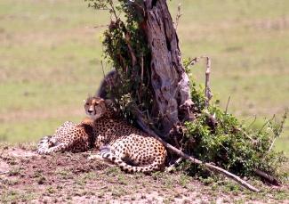 Cheetahs-Serengeti