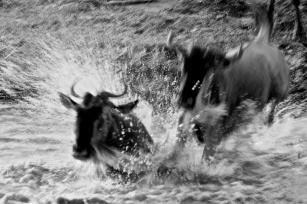 Wildebeest crossing-Serengeti