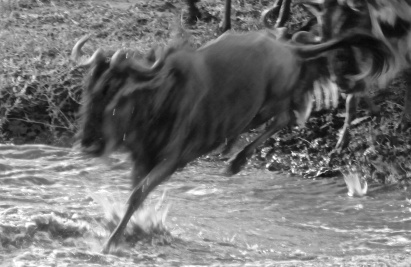 Wildebeest crossing-Serengeti