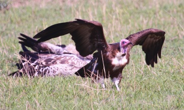 Hooded vulture-Serengeti