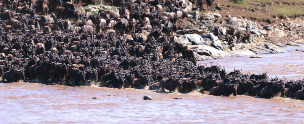 Wildebeest crossing the Mara River-Serengeti
