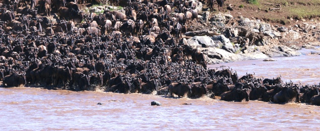 Wildebeest crossing the Mara River-Serengeti