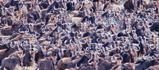 Wildebeests crossing the Mara River
