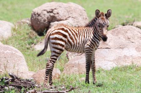 Baby zebra-Serengeti