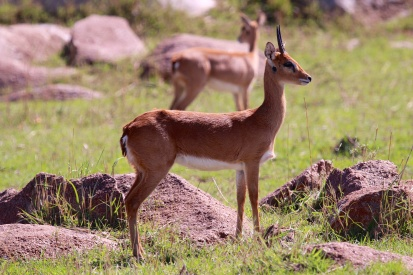 Oribi-Serengeti