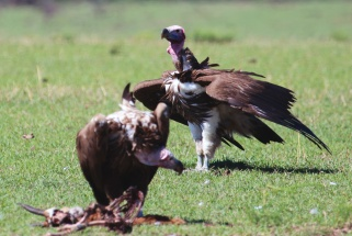 Lappet-faced vultures-Serengeti