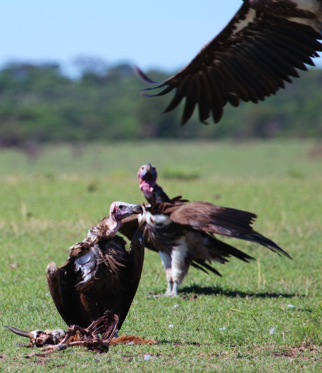 Lappet-faced vultures-Serengeti