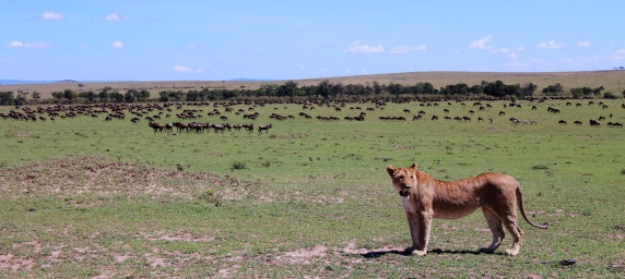 Lioness preparing to hunt-Serengeti