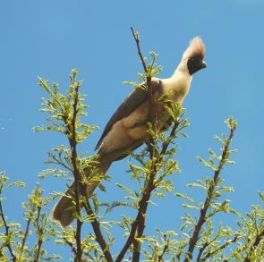 Bare-faced go-away bird-Serengeti