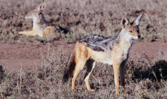 Black-backed Jackal-Serengeti