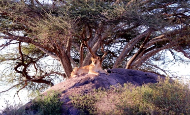 Lioness on a kopje-Serengeti