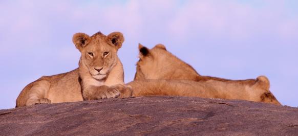 Lions cubs on a kopje-Serengeti