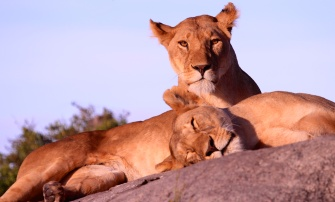 Lioness with family-Serengeti
