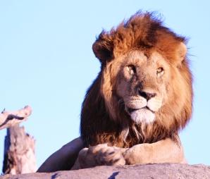 Lion on a kopje-Serengeti