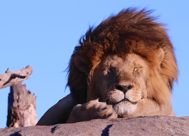 Lion napping-Serengeti