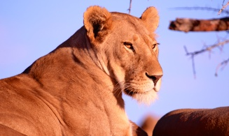 Lioness at sunset-Serengeti