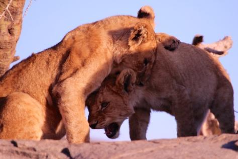 Lion cubs playing-Serengeti