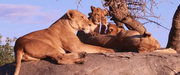 Lion family on a kopje-Seregenti