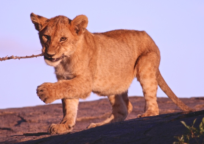Lion cub playing-Serengeti