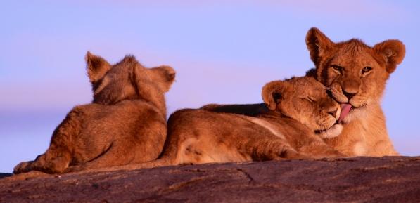 Lion cubs-Serengeti