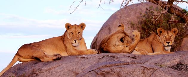 Lion family on a kopje-Serengeti