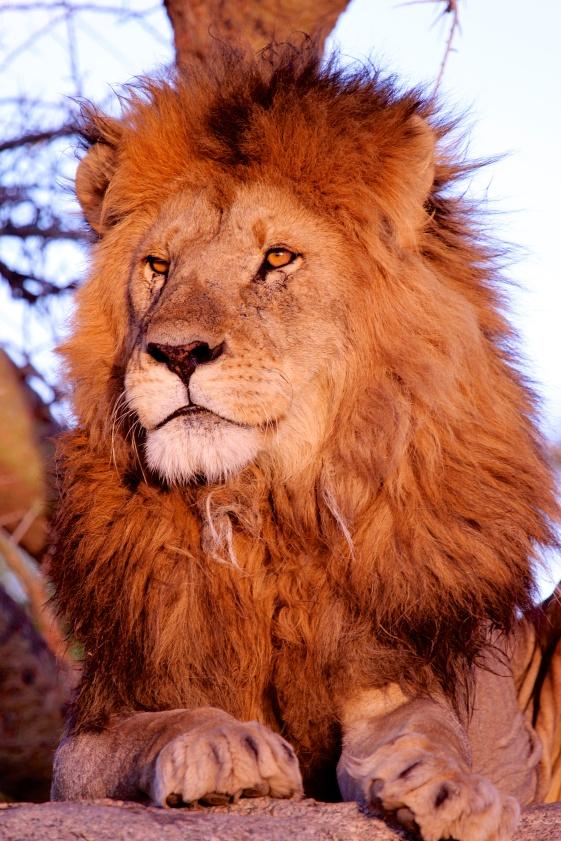 Lion at sunset-Serengeti