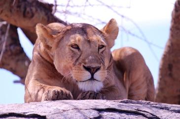 Lioness scanning for prey-Serengeti