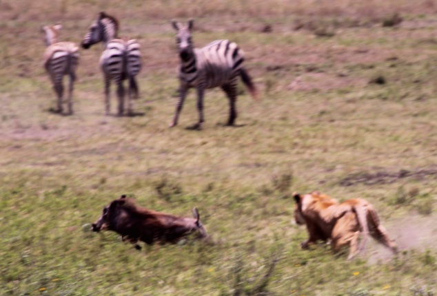 Warthog scaping from lioness-Serengeti
