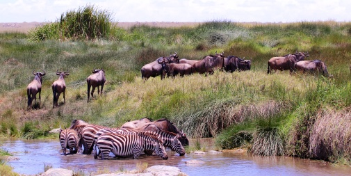Zebras and wildebeest in Serengeti grasslands