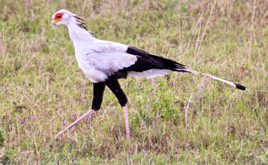 Secretary bird-Serengeti