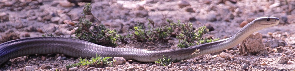Black spitting cobra-Ngorongoro