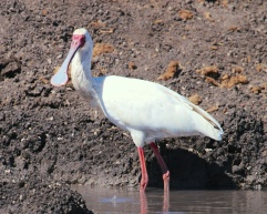 African spoonbill-Ngorongoro