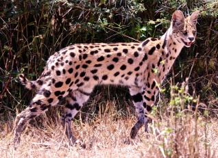 Serval cat searching for prey-Ngorongoro