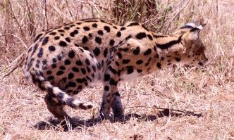 Serval cat preparing for ambushing prey-Ngorongoro