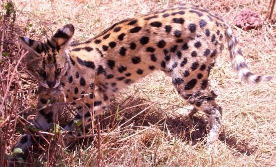 Serval cat with prey-Ngorongoro