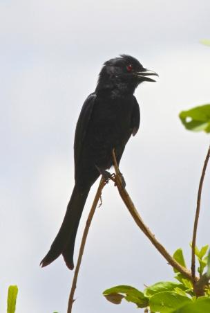 Fork tail drongo-Lake Manyara